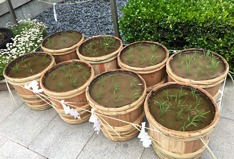 東京大神宮の稲?