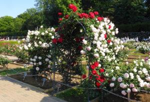 神代植物公園のピエール・ド・ロンサール