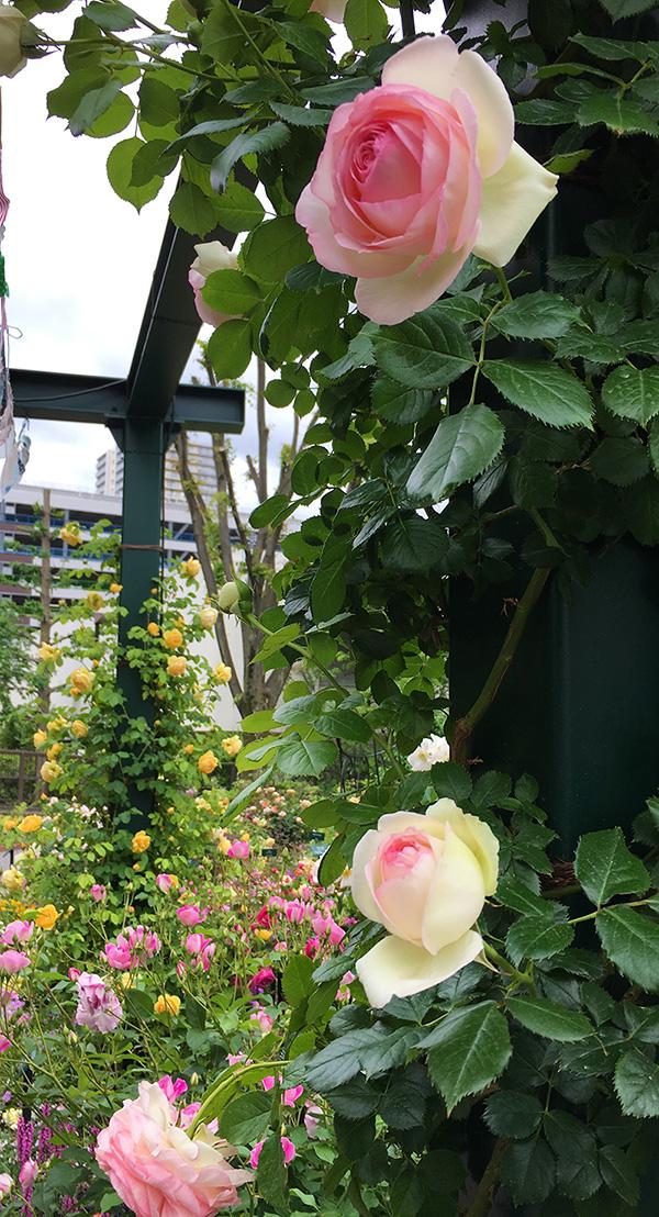 小さいバラ園のピエール・ド・ロンサール