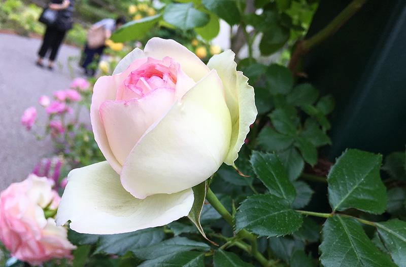 小さいバラ園のピエール・ド・ロンサールの蕾