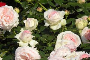 殿堂入りのバラ ピエール・ド・ロンサール