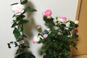 国際バラとガーデニングショウで買ったロイヤルハイネスとピエール・ド・ロンサール
