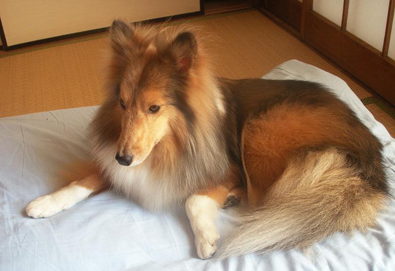 愛犬のシェルティー
