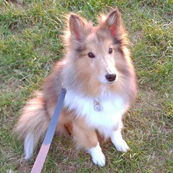 愛犬のシェルティーが虹の橋へ旅立った日